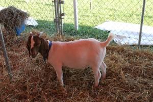 Manitowoc County Fair 2013 Goat