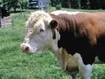 beef steer